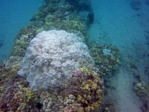 coral bleaching hapuna