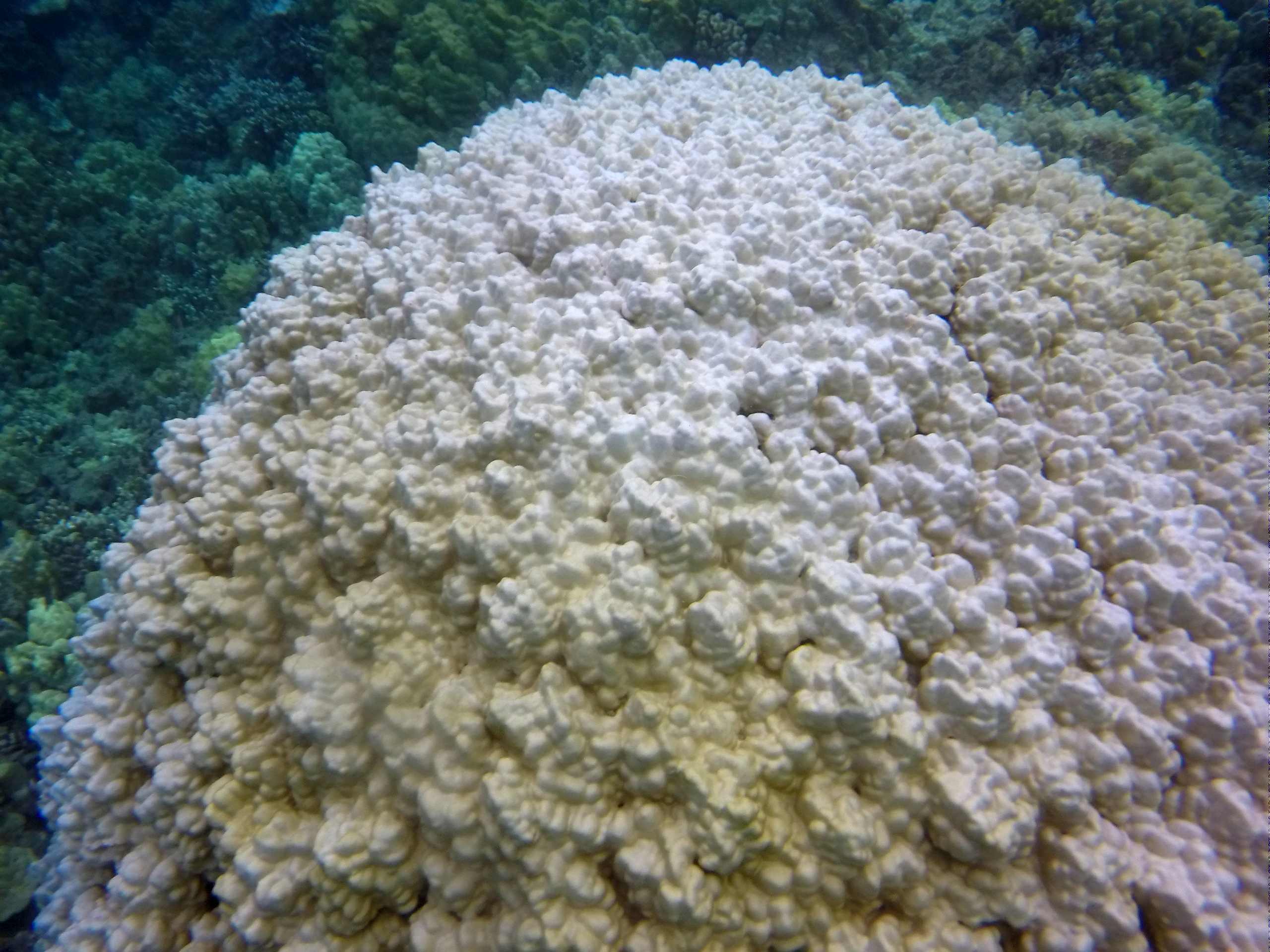 coral bleaching Coral bleaching events can cause severe and widespread ecological damage with serious consequences for reef-based communities and industrieswhile the causes of coral bleaching are beyond the direct influence of local management, reef managers have important roles to play before, during and after bleaching events.