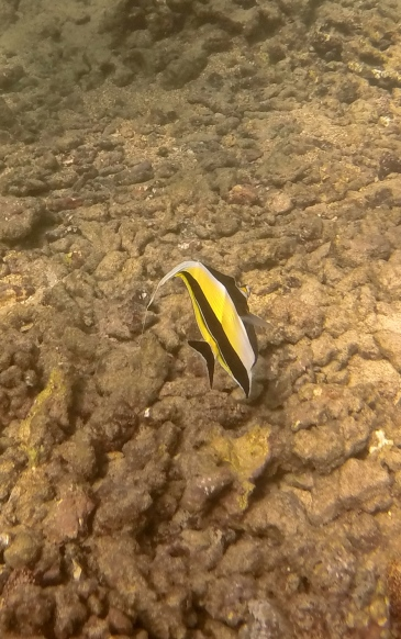 emaciated moorish idol fish