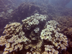 9.3.2016 recovery B (plate and pillar coral)