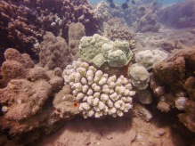 Coral colonies recovering